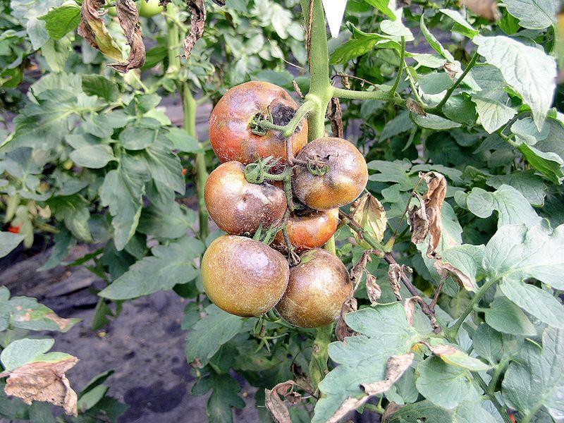 plamenjaca paradajza