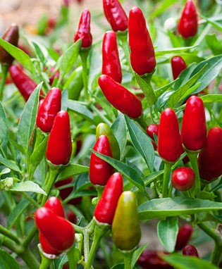 pepper_thai_hot