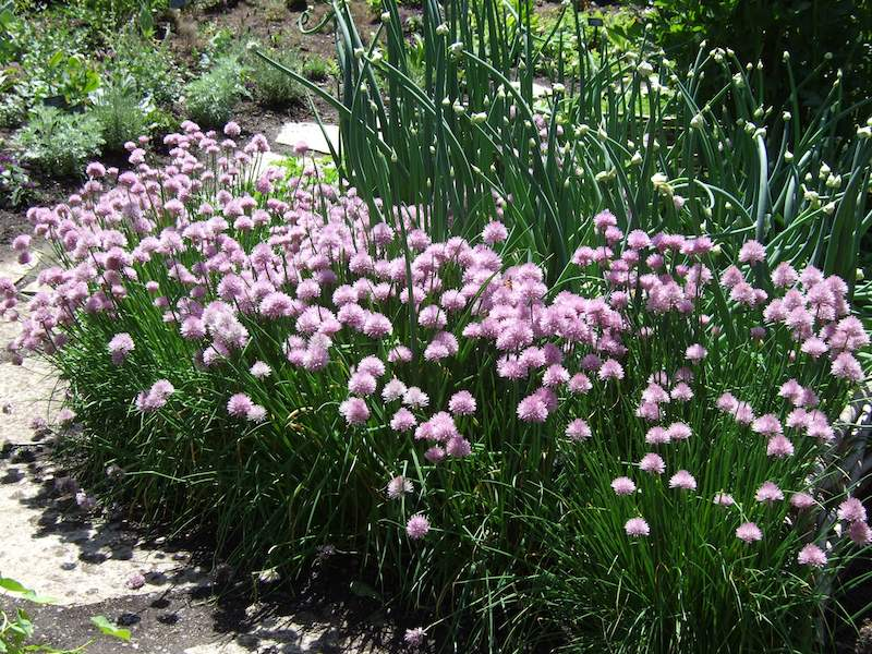 chives (1)