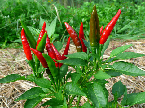 peppersHot081610