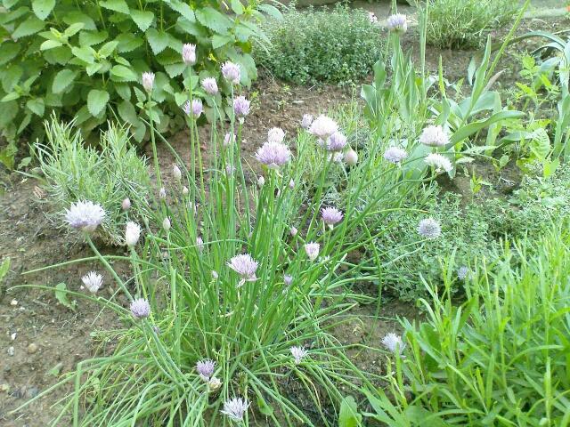 Organska bašta - radovi u junu 2